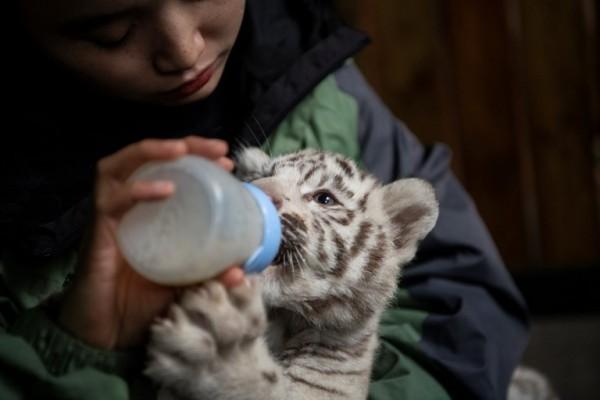 Tres cachorros de tigre blanco encandilan a China