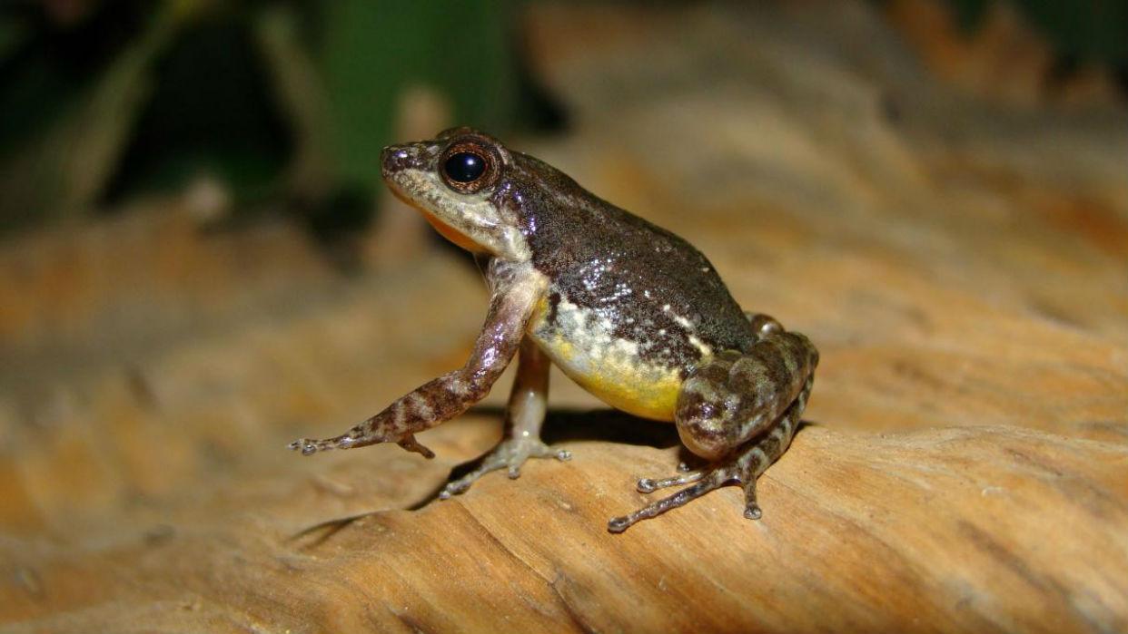 Descubren nueva especie de sapo miniatura en el norte de Venezuela