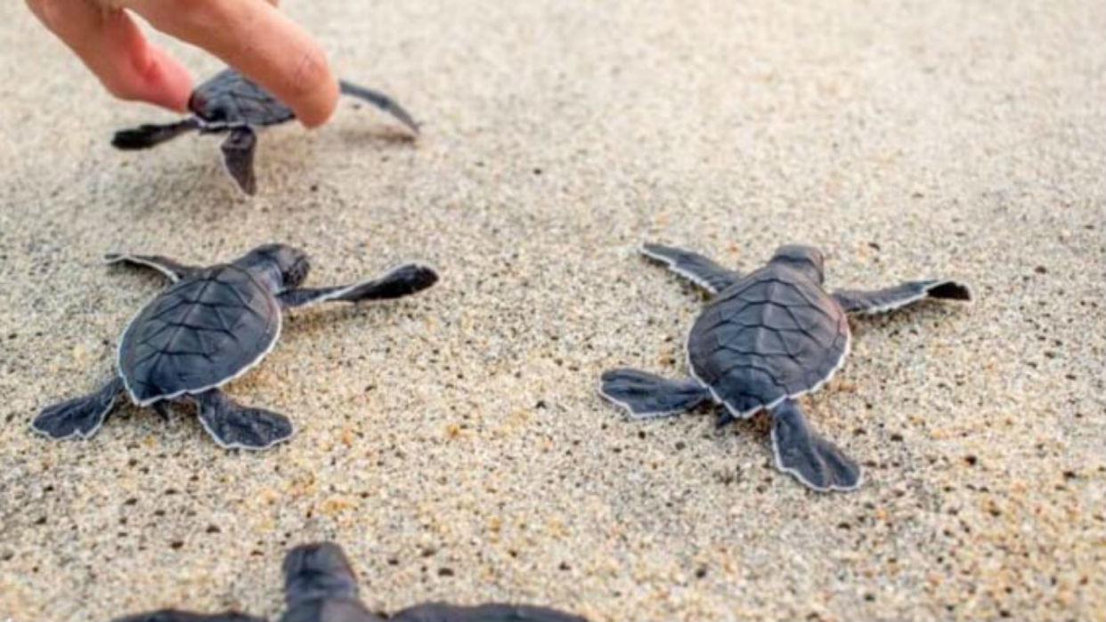 Casi 300 tortugas murieron en México por