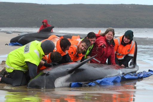 Cetáceos varados en Tasmania, un fenómeno con muchos precedentes